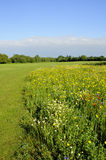 Buttercup meadow landscape. Landscape with wildflower meadow dominated by buttercups, Richmond, London Royalty Free Stock Images