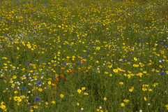 Buttercup meadow. View of wildflower meadow dominated by buttercups, Richmond, London Royalty Free Stock Photos