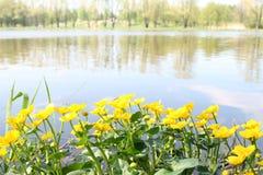 buttercup nära vatten Arkivbilder
