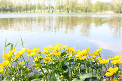 Buttercup near the water. Yellow buttercup near the water Stock Images