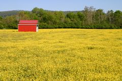Buttercup Pasture & Farm Buildings Royalty Free Stock Image