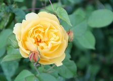Buttercup-Peach Rose in an Irish Garden stock photos