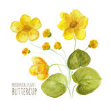 Buttercup perennial flower Stock Photos