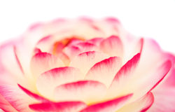 Buttercup pink bubblegum flower close-up Royalty Free Stock Photo