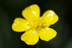 Buttercup Ranúnculus ácris. Wild yellow flower, dew droplets on blured nature background in early morning sunny summer day stock photos