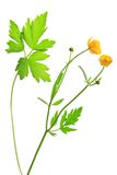 Buttercup (Ranunculus acris) Stock Photos