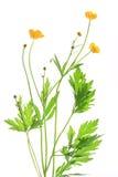 Buttercup (Ranunculus acris) Stock Photo