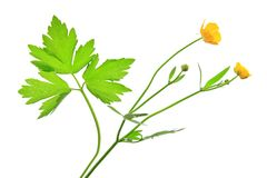 Buttercup (Ranunculus acris) Stock Photos