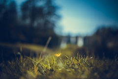 Buttercup at Roche Abbey Ruins Maltby UK Stock Photos