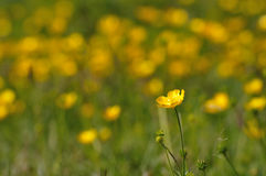 Buttercup singled out of a meadow Royalty Free Stock Photography