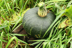 Buttercup squash. Harvested from the garden Stock Photo