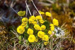 Buttercup Sulphur-yellow Ranunculus sulphureus Royalty Free Stock Photo