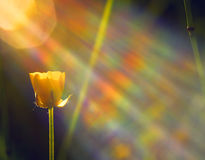 Buttercup during sunrise. Buttercup in the morning sunshine with glass reflection Stock Images