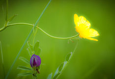 Buttercup and vetch Royalty Free Stock Photography