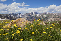 Buttercup Wild Flowers In The Rocky Beartooth Mountains Royalty Free Stock Image