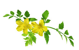 Buttercup Wildflower. Single yellow buttercup flower isolated on white Royalty Free Stock Images
