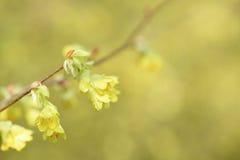 Buttercup winter-hazel Royalty Free Stock Image
