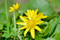 Buttercup yellow flower blooming in the spring in the woods Stock Images