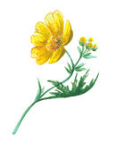 Buttercup yellow flower Royalty Free Stock Photos
