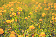 Buttercup yellow flowers Royalty Free Stock Photography