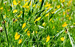 Buttercup yellow flowers on the meadow Stock Images