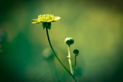 Buttercup Royalty Free Stock Photos