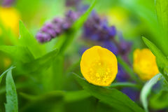 Buttercup, yellow spring flower. Buttercups and sage salvia, yellow and violet  spring flower-closeup Royalty Free Stock Photo