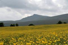 buttercupdalar field yorkshire Royaltyfri Fotografi