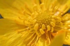 buttercupmakro arkivbild