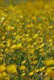 buttercups Arkivfoton