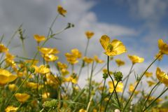 Free Buttercups Royalty Free Stock Photography - 549957