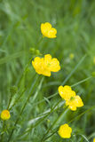 Buttercups. A group of wild Buttercups Royalty Free Stock Photography