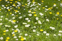 Free Buttercups And Daisises Stock Image - 144839111