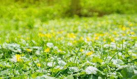 Buttercups. Blurred background of yellow buttercups and green grass Stock Photos