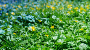 Buttercups. Blurred background of yellow buttercups and green grass Stock Photo