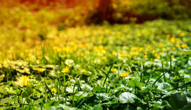 Buttercups. Blurred background of yellow buttercups and green grass Stock Photography