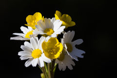 Buttercups and daisies  Stock Photos