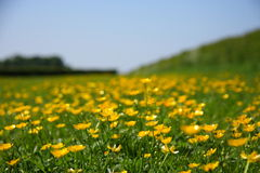 Buttercups in the field Stock Images
