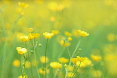 Buttercups Royalty Free Stock Photo