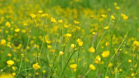 Buttercups Royalty Free Stock Image