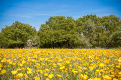 Buttercups field. With trees and blue skies in the background stock images