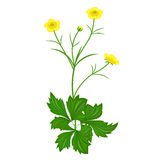 Buttercups florets Royalty Free Stock Photos