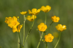 Buttercups flower macro Royalty Free Stock Photo