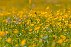 Buttercups flowers meadow Royalty Free Stock Images