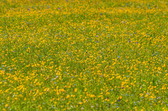 Buttercups flowers meadow Stock Image
