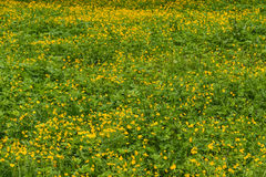 Buttercups flowers meadow Royalty Free Stock Image