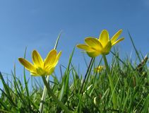 Buttercups in the grass Stock Image