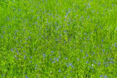 Buttercups in the grass. Blue buttercups bloom in the grass in the spring Royalty Free Stock Photo