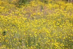 Buttercups filling a field with yellow flora. Buttercups growing wild in a meadow, focus close-up with a blurred background royalty free stock images