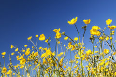 Buttercups Royalty Free Stock Images